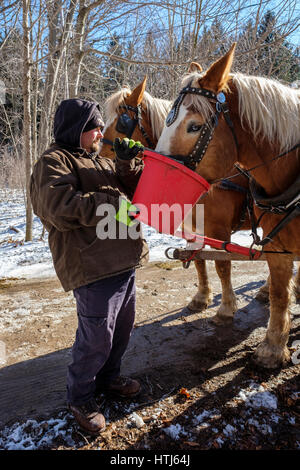 A man using a red bucket to give food, water, to harnessed Belgian draft horses (Equus caballus) in a sunny Winter - Stock Photo