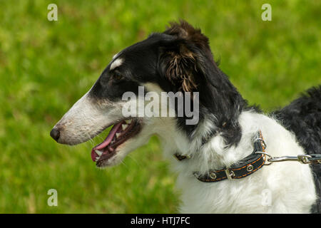 Portrait of Russian wolfhound on green background. - Stock Photo