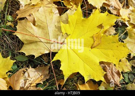 Large fallen autumn maple leaves close-up - Stock Photo