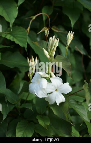 chilean jasmine mandevilla laxa apocynaceae argentina south stock photo royalty free image. Black Bedroom Furniture Sets. Home Design Ideas