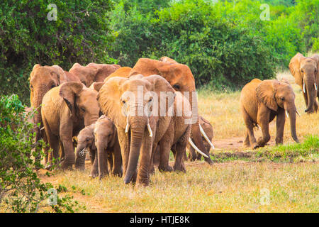 Elephants in Tsavo East National Park. Kenya. - Stock Photo
