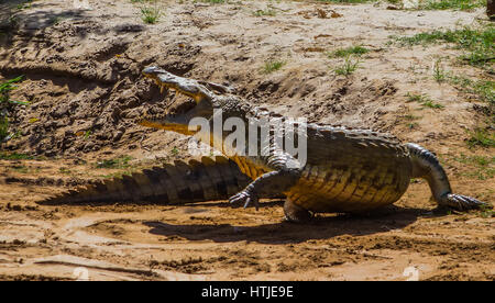 Crocodile in Tsavo East National Park. Kenya. - Stock Photo
