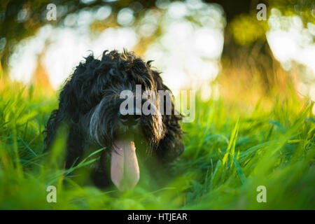 Black Cockapoo resting with tongue out in tall green grass in late afternoon Summer light - Stock Photo