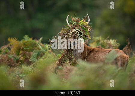 Young stag trying to make himself look more impressive during rutting season - Stock Photo