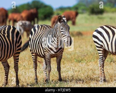 Zebras in Tsavo East National Park. Kenya. - Stock Photo
