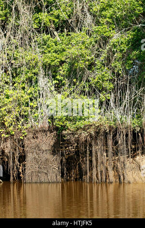 Mangrove forest along the Cuiaba River, the Pantanal region, Mato Grosso state, Brazil, South America - Stock Photo