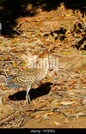 Rufescent Tiger Heron walking along the riverbank of the Cuiaba River, the Pantanal region, Mato Grosso state, Brazil, - Stock Photo