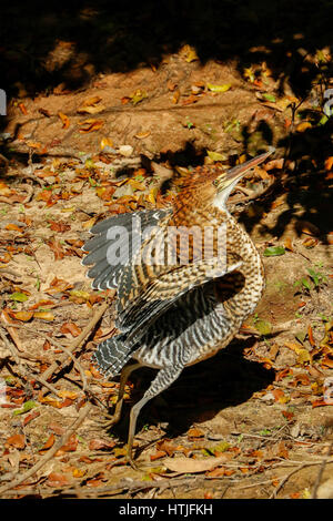 Rufescent Tiger Heron about to fly along the riverbank of the Cuiaba River, the Pantanal region, Mato Grosso state, - Stock Photo