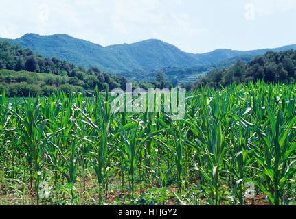 Corn field. La Garrotxa Nature Reserve, Gerona province, Catalonia, Spain. - Stock Photo
