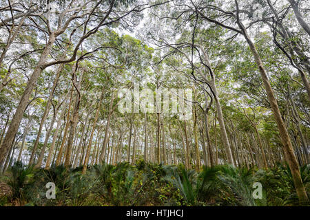 Forest of Spotted Gum Trees (Eucalyptus maculata) by Brou Lake, Sapphire Coast, New South Wales, NSW, Australia - Stock Photo