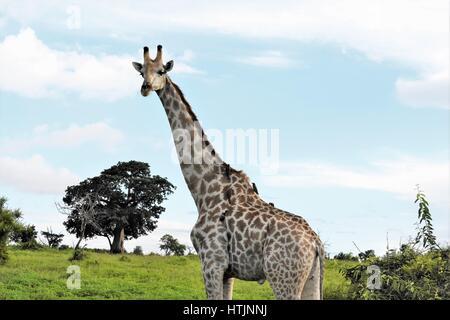 Giraffe in the veld, watering hole - Stock Photo