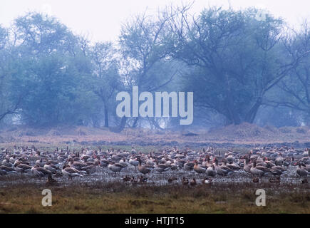 Greylag Geese, (Anser anser) on wetland, Keoladeo Ghana National Park, Bharatpur, Rajsthan, India - Stock Photo