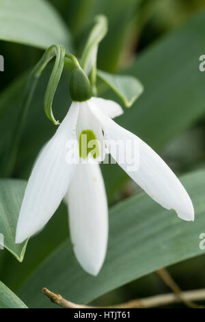 Single flower of the late blooming giant snowdrop, Galanthus elwesii 'Miller's Late' - Stock Photo