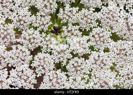Inflorescence of white flowers plants from the family Apiaceae or Umbelliferae - Stock Photo