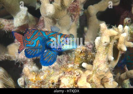 September 26, 2014 - Indo-Pacific Ocean, Philippines - mandarinfish or mandarin dragonet (Synchiropus splendidus) - Stock Photo