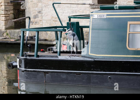 A grey Heron sitting on the deck of a canal boat in Bath, England - Stock Photo