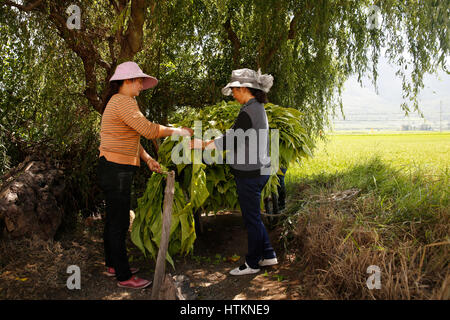 Women attach tobacco leaves to rods with string to commence the drying process during the tobacco harvest at Dion - Stock Photo