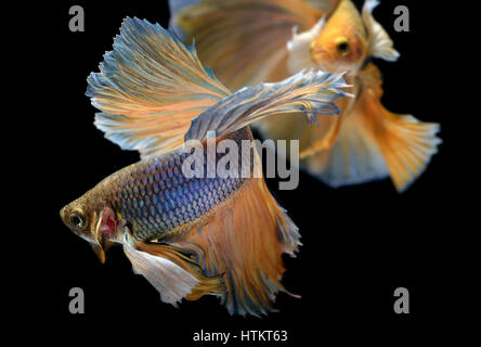 Yellow golden Colorful  waver of Betta Saimese fighting fish  beauty and freedom in black background photo with - Stock Photo