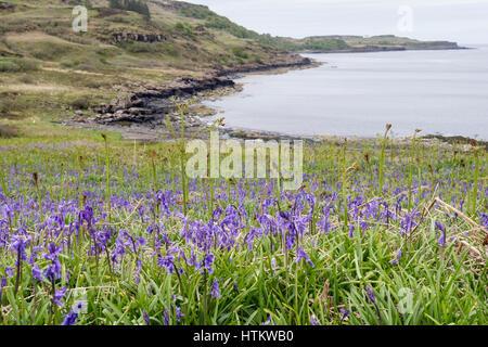Bluebells flowering on seashore with Bracken fronds in early summer. Loch Scridain, Bunessan, Isle of Mull, Inner - Stock Photo