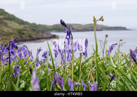 Bluebells flowering on seashore with Bracken fronds in early summer. Loch Scridain, Bunessan, Isle of Mull, Argyll - Stock Photo