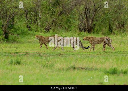Three Cheetah (Acinonyx jubatus) males on the hunt, Masai Mara National Reserve, Kenya, East Africa - Stock Photo