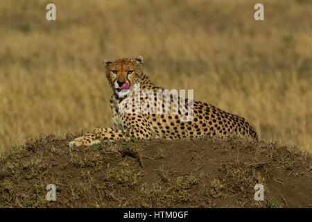 Cheetah (Acinonyx jubatus) resting on a dirt mound, Masai Mara National Reserve, Kenya, East Africa - Stock Photo