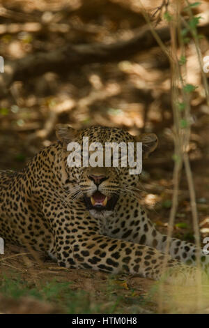 Leopard (Panthera pardus) resting in the shade, Samburu National Reserve, Kenya, East Africa - Stock Photo