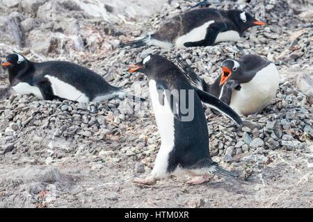 Gentoo penguin, Pygoscelis papua, Neko Harbour, Palmer Archipelago, Antarctic Peninsula, Antarctica - Stock Photo