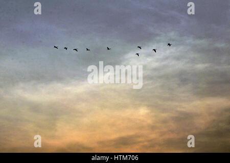 Noida, Uttar Pradesh, India- August 2, 2014: During breeding season a flock of Cattle Egret (Bubulcus ibis) flying - Stock Photo
