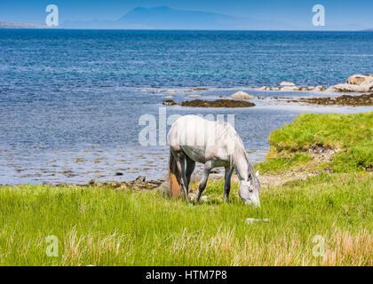Connemara Pony - Stock Photo