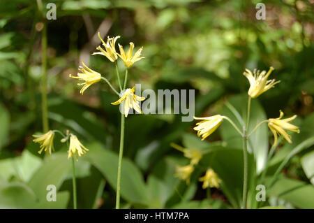 Clintonia Borealis in the Sunshine - Stock Photo