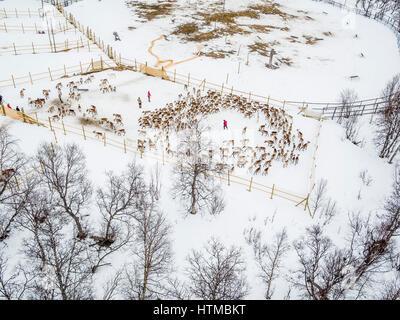 Reindeer herding, Laponian Area, Stora Sjofallet National Park, Lapland, Sweden. World heritiage Area. - Stock Photo