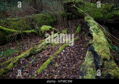 Lichen and moss covered dead tree trunks in the rain on the National Trust Bookham Commons, in winter 2017 - Stock Photo