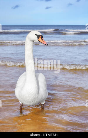 Picture of a mute swan on a beach, selective focus. - Stock Photo