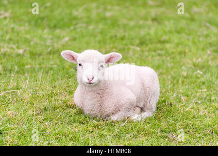 A cute little lamb is lying in a grass field in the english Lake District. The grass provides a green background. - Stock Photo