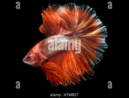 Golden red Colorful  waver of Betta Saimese fighting fish  beauty and freedom in black background photo with studio - Stock Photo