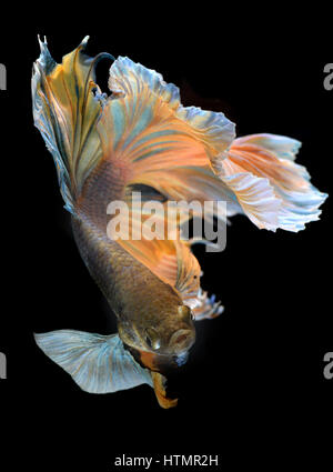 Colorful  waver of Betta Saimese fighting fish  beauty and freedom in black background photo with studio flash lighting. - Stock Photo