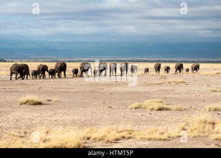 Elephants of Amboseli. A line of elephants, including their young, make their way towards a watering hole in Amboseli - Stock Photo