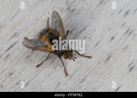 Igelfliege, Raupenfliege, Tachina fera, Tachinid Fly, parasitic fly, la Tachinaire sauvage, Tachinidae, Raupenfliegen, - Stock Photo