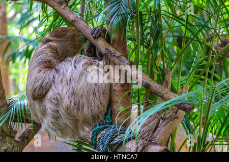Three-toed sloth hanging on tropical tree branch - Stock Photo