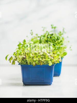 Fresh spring green live radish cress sprouts in blue plastic pots over white marble background for healthy eating, - Stock Photo