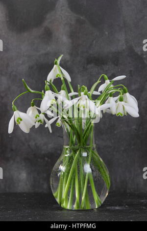 Snowdrops Flowers Galanthus Nivalis Picked From Garden And