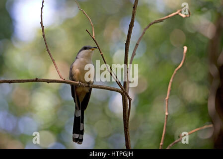 Mangrove Cuckoo (Coccyzus minor) Trinidad & Tobago TT February 2017 - Stock Photo