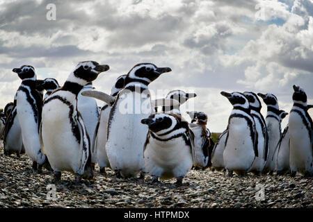 A colony of Magellanic penguins (Spheniscus magellanicus)  at Penguin Island near Puerto Deseado, Patagonia in Santa - Stock Photo