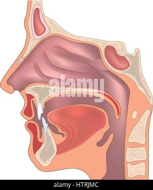 Anatomy of the nose and throat. Human organ structure. Medical sign - Stock Photo