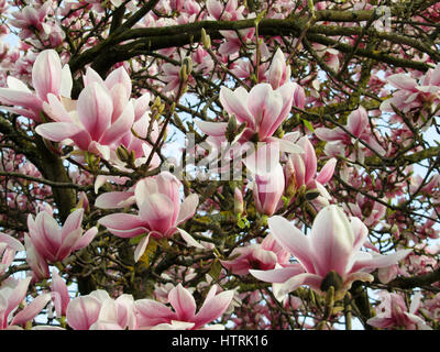 Close up of hundreds of Magnolia Blooming - Stock Photo