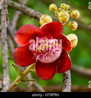 The unique red flower of the Cannonball tree - Cambodia. The tree is sacred to Hindus, who believe its hooded flowers - Stock Photo
