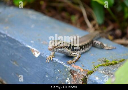 Common garden skink lizard zoom in close up - Stock Photo