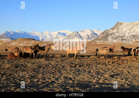 Wild horses,Iceland horses , South Coast, Iceland - Stock Photo