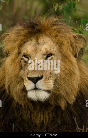 Portrait of a male African lion (Panthera leo), Masai Mara National Reserve, Kenya, East Africa - Stock Photo